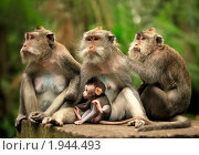 Семья обезьян. Стоковое фото, фотограф Морозова Татьяна / Фотобанк Лори