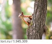Купить «Белка, сидящая на дереве», фото № 1945309, снято 31 августа 2010 г. (c) Андрей Павлов / Фотобанк Лори