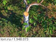 Купить «Наклонный спил замерзшего суровой зимой ствола», эксклюзивное фото № 1948073, снято 3 июля 2010 г. (c) Анатолий Матвейчук / Фотобанк Лори