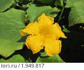 Цветок тыквы. Стоковое фото, фотограф Alexion / Фотобанк Лори