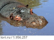 Купить «Бегемот в воде», фото № 1956257, снято 6 сентября 2010 г. (c) Вера Тропынина / Фотобанк Лори