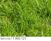 Фактура яркой зеленой травы (фон) Стоковое фото, фотограф ac / Фотобанк Лори