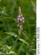 Купить «Чистец болотный (Stachys palustris L)», фото № 1968005, снято 15 июля 2010 г. (c) Кондорский Дмитрий / Фотобанк Лори