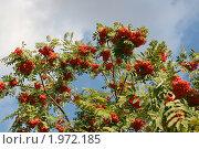 Купить «Ветки рябины на фоне неба», фото № 1972185, снято 9 сентября 2010 г. (c) Щеголева Ольга / Фотобанк Лори