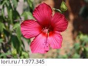 Розовый цветок мальвы. Стоковое фото, фотограф Хайруллина Ирина / Фотобанк Лори