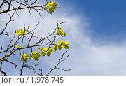 Сочные молодые листья липы. Стоковое фото, фотограф Евгений Ореховский / Фотобанк Лори
