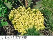 Купить «Колеус золотой на клумбе», эксклюзивное фото № 1978789, снято 5 сентября 2010 г. (c) Алёшина Оксана / Фотобанк Лори