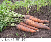 Уборка урожая. Выдернутая морковь лежит на грядке. Стоковое фото, фотограф VPutnik / Фотобанк Лори