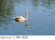 Купить «Молодой лебедь шипун плывет по озеру», эксклюзивное фото № 1981825, снято 8 мая 2010 г. (c) Щеголева Ольга / Фотобанк Лори
