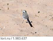 Купить «Трясогузка (Motacilla) на песке», эксклюзивное фото № 1983637, снято 16 августа 2010 г. (c) Александр Щепин / Фотобанк Лори