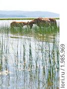 Купить «Лошади спасаются от жары», фото № 1985969, снято 22 июня 2010 г. (c) Александр Подшивалов / Фотобанк Лори