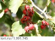 Купить «Спелый боярышник», фото № 1991745, снято 17 сентября 2010 г. (c) Владимир Журавлев / Фотобанк Лори