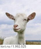 Купить «Коза. Портрет в три четверти», фото № 1992025, снято 14 сентября 2010 г. (c) Наталья Крупская / Фотобанк Лори