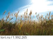 Тростник. Стоковое фото, фотограф Сергей Лукин / Фотобанк Лори