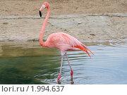 Купить «Розовый фламинго», эксклюзивное фото № 1994637, снято 15 сентября 2010 г. (c) Александр Тарасенков / Фотобанк Лори