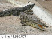 Купить «Нильский крокодил», эксклюзивное фото № 1995077, снято 15 сентября 2010 г. (c) Александр Тарасенков / Фотобанк Лори