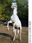 Купить «Конь встает на дыбы», фото № 2001429, снято 26 сентября 2010 г. (c) Сергей Лаврентьев / Фотобанк Лори