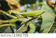 Купить «Богомол обыкновенный (Mantis religiosa)», фото № 2002725, снято 9 августа 2010 г. (c) Красилов Игорь / Фотобанк Лори
