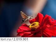 Купить «Бражник хоботник над цветком в Никитском ботаническом саду», фото № 2019901, снято 18 сентября 2010 г. (c) Вячеслав Беляев / Фотобанк Лори