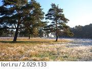 Купить «Сосны осенним утром. Первые заморозки», эксклюзивное фото № 2029133, снято 6 октября 2010 г. (c) Яна Королёва / Фотобанк Лори