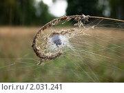 Паук спрятался в паутине. Стоковое фото, фотограф Елена Ильина / Фотобанк Лори