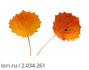 Два осенних листа осины. Стоковое фото, фотограф Светлана Илькова / Фотобанк Лори