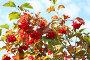 Красная калина, фото № 2035633, снято 21 сентября 2010 г. (c) Наталья Волкова / Фотобанк Лори