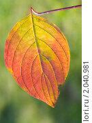 Купить «Осенний лист», эксклюзивное фото № 2040981, снято 9 октября 2010 г. (c) Александр Алексеев / Фотобанк Лори
