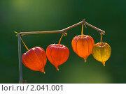 Купить «Физалис (Physalis)», эксклюзивное фото № 2041001, снято 9 октября 2010 г. (c) Александр Алексеев / Фотобанк Лори