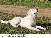Купить «Собака породы голден ретривер лежит на траве возле тропинки и смотрит вверх», фото № 2042625, снято 9 октября 2010 г. (c) Ирина Мороз / Фотобанк Лори