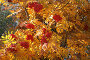 Рябина красная в контровом свете, фото № 2043397, снято 21 сентября 2010 г. (c) Наталья Волкова / Фотобанк Лори