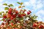 Красная калина, фото № 2045605, снято 21 сентября 2010 г. (c) Наталья Волкова / Фотобанк Лори