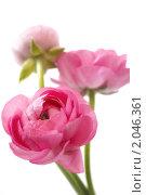 Купить «Розовые цветы ранункулюса на белом фоне», фото № 2046361, снято 5 октября 2010 г. (c) Екатерина Рыбина / Фотобанк Лори