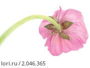 Купить «Розовые цветы ранункулюса на белом фоне», фото № 2046365, снято 5 октября 2010 г. (c) Екатерина Рыбина / Фотобанк Лори