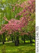 Купить «Розовое дерево в парке», фото № 2046705, снято 6 мая 2010 г. (c) ИВА Афонская / Фотобанк Лори