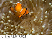Рыба-клоун. Стоковое фото, фотограф Валерий Чуркин / Фотобанк Лори