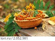 Купить «Осенний натюрморт с рябиной в плетеной корзине», фото № 2052981, снято 10 августа 2010 г. (c) Светлана Зарецкая / Фотобанк Лори