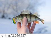 Купить «Речной окунь», фото № 2056737, снято 6 февраля 2010 г. (c) Федор Кондратенко / Фотобанк Лори