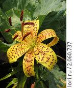 Купить «Желтая тигровая лилия в каплях дождя», фото № 2060737, снято 2 августа 2007 г. (c) Светлана Ильева (Иванова) / Фотобанк Лори