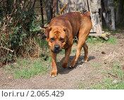 Купить «Собака готовится к нападению», фото № 2065429, снято 4 октября 2009 г. (c) Олег Хархан / Фотобанк Лори