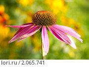 Купить «Эхинацея», фото № 2065741, снято 16 сентября 2007 г. (c) Алексей Ухов / Фотобанк Лори