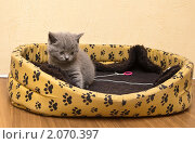 Купить «Британский котенок», фото № 2070397, снято 28 сентября 2010 г. (c) Анна Лурье / Фотобанк Лори
