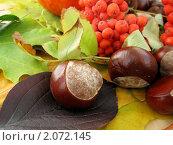 Плоды каштана и рябины на фоне осенних листьев. Стоковое фото, фотограф Светлана Петрова / Фотобанк Лори