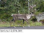 Купить «Северный олень», фото № 2074381, снято 24 июля 2009 г. (c) Валерия Попова / Фотобанк Лори