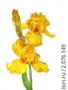 Купить «Желтый ирис на белом фоне», фото № 2076149, снято 6 июня 2010 г. (c) Наталья Волкова / Фотобанк Лори