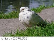 Купить «Белый голубь», эксклюзивное фото № 2076353, снято 8 сентября 2010 г. (c) lana1501 / Фотобанк Лори