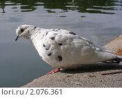 Купить «Белый голубь», эксклюзивное фото № 2076361, снято 8 сентября 2010 г. (c) lana1501 / Фотобанк Лори