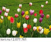 Купить «Разноцветные тюльпаны», фото № 2077761, снято 22 мая 2010 г. (c) Юлия Подгорная / Фотобанк Лори