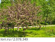 Купить «Цветущая розовая вишня (сакура)», фото № 2078349, снято 6 мая 2010 г. (c) ИВА Афонская / Фотобанк Лори