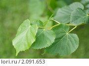 Купить «Ветка липы с листьями», эксклюзивное фото № 2091653, снято 12 июля 2010 г. (c) Шичкина Антонина / Фотобанк Лори